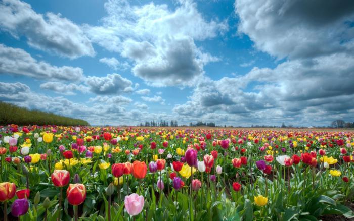 Фестивалю тюльпанів на Херсонщині не буде?